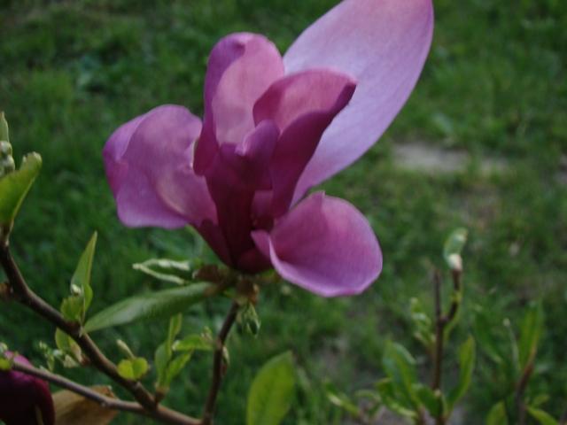 Magnolia - Szkółka roślin Stecz