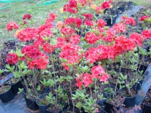 Azalia wielkokwiatowa - Szkółka roślin Stecz