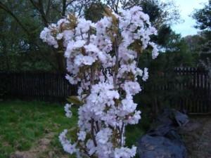 Wiśnia piłkowana - Amanogawa