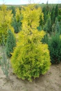 Żywotnik zachodni-Aurescens
